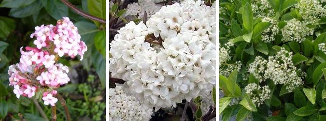viburnum fleurs parfumées