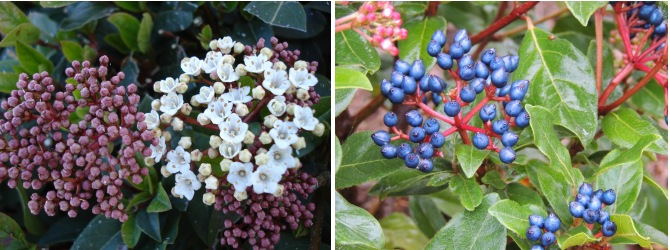 viburnum laurier tin fleurs fruits