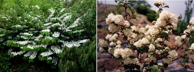 viburnum plicatum jardin zen