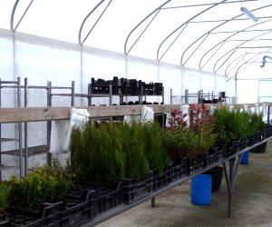 preparation des plants avant mise en colis