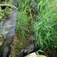 Epuration eau de drainage, phragmites