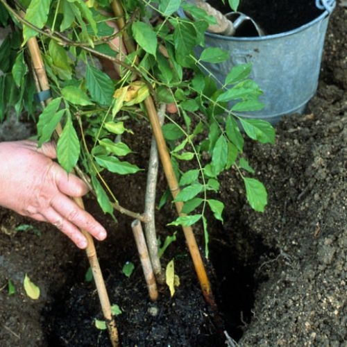 Comment planter ma plante grimpante persistante